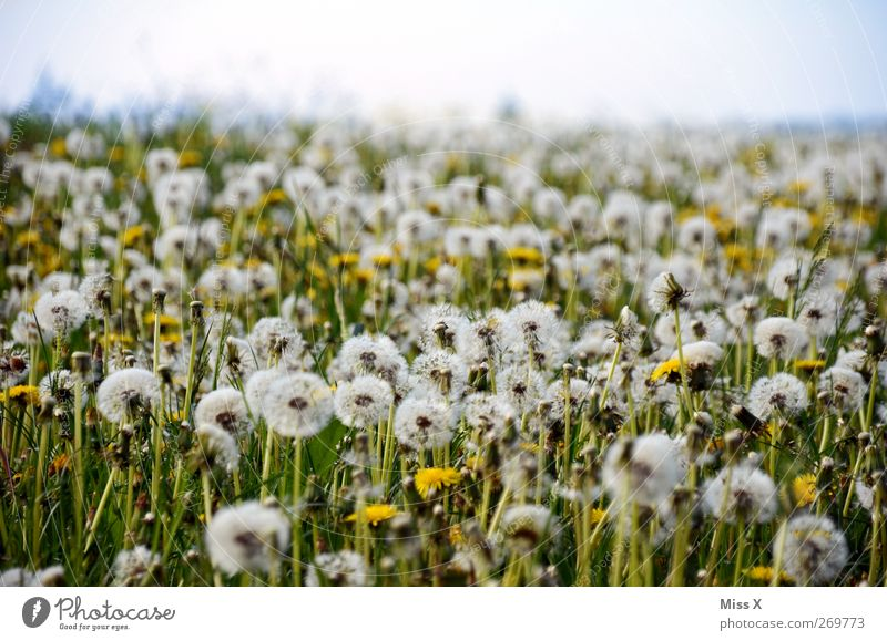 still wind Nature Plant Summer Flower Blossom Meadow Faded Delicate Dandelion Seed Field Colour photo Exterior shot Deserted Copy Space top