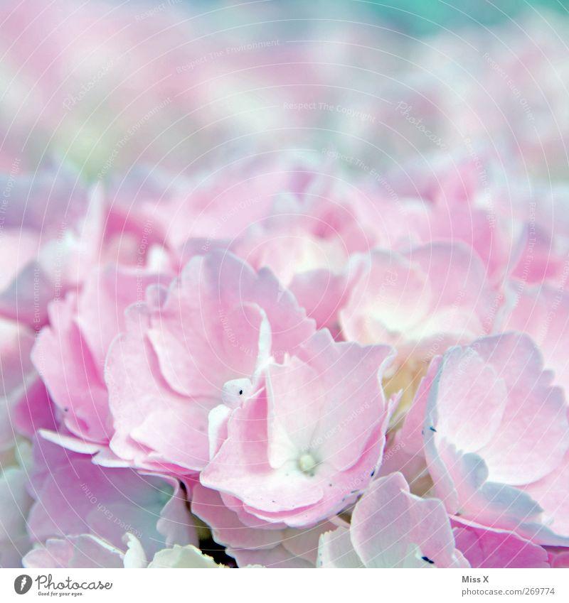 Plant Flower Spring Blossom Bright Pink Blossoming Fragrance Hydrangea Hydrangea blossom