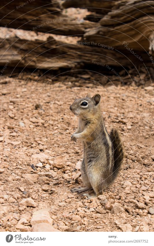 crazy Chipmunk Nature Earth Sand Drought Canyon Animal Wild animal Eastern American Chipmunk 1 Observe Discover Listening Wait Brash Small Near Curiosity Cute