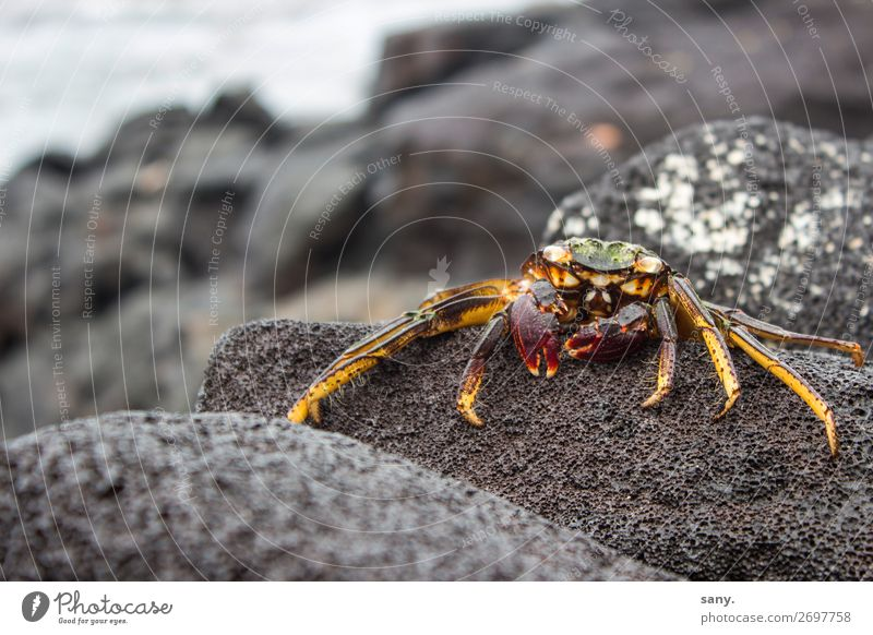 "Crab on petrified lava Nature Landscape Animal Earth Water Rock Volcano Sally Lightfoot crab Coast Island ""Big Island Hawaii Wild animal Shrimp 1 Crawl Looking"