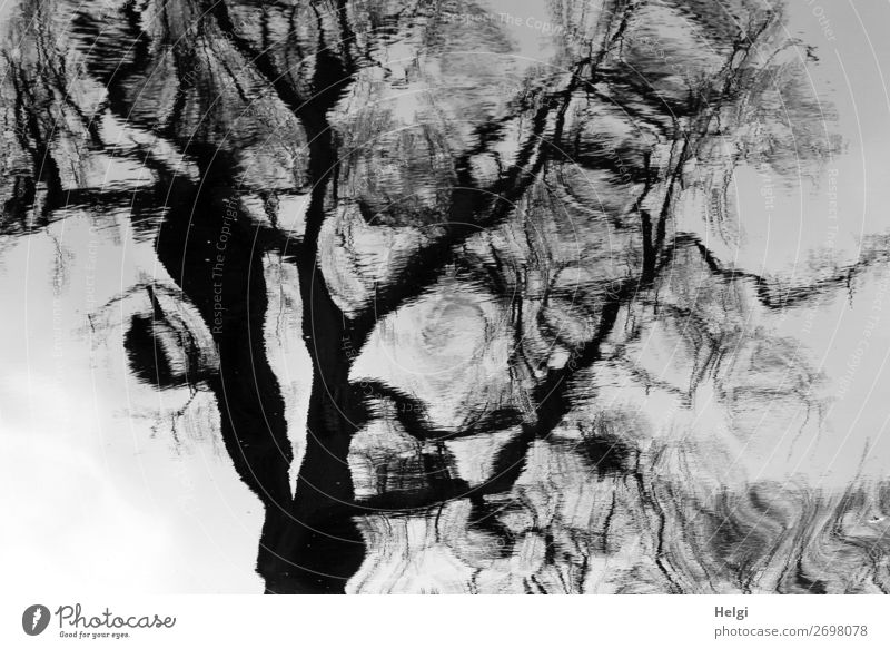 bizarre reflection of a tree on a water surface Environment Plant spring Pond Stand Exceptional great Uniqueness Gray Black White Calm Unwavering Senior citizen