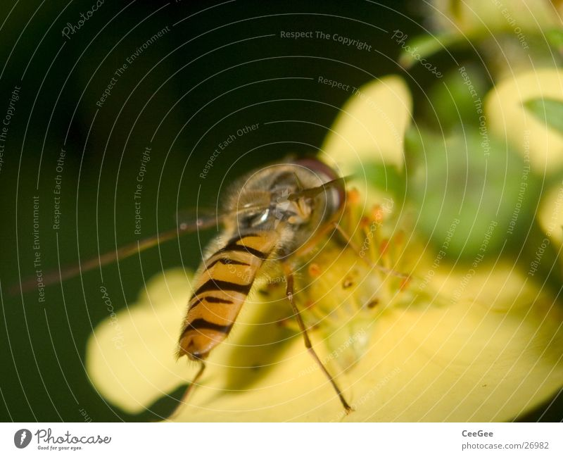 Nature Plant Flower Animal Yellow Nutrition Blossom Food Legs Wing Insect Collection Stamen Nectar Hover fly