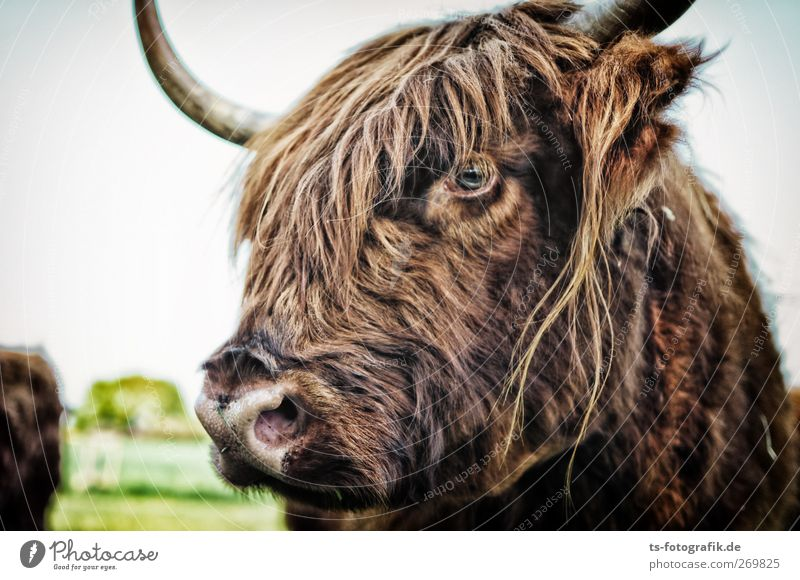 Don't hit on Hugo! Environment Nature Animal Farm animal Cow Pelt Highland cattle Cattle Antlers Snout Looking Curiosity Skeptical 1 Natural Brown
