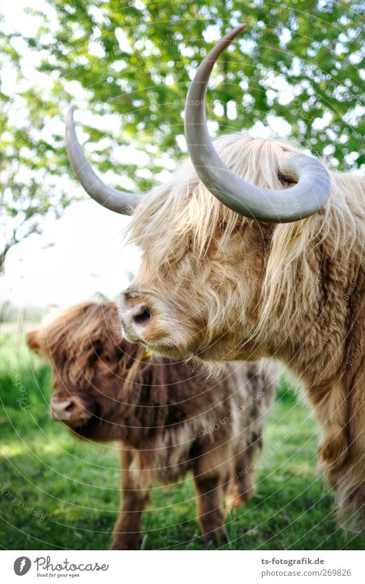 We are family! Environment Nature Spring Summer Tree Grass Animal Cow Animal face Highland cattle Antlers 2 Herd Baby animal Animal family Natural Brown Green