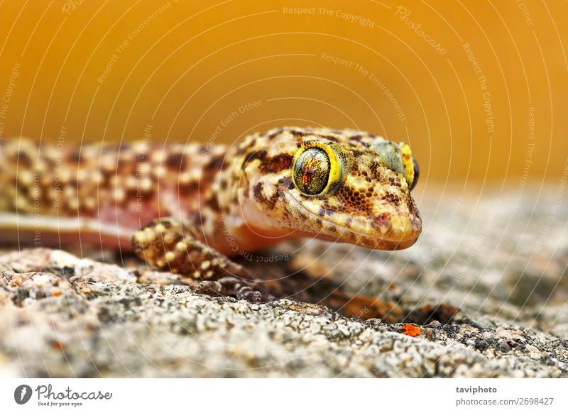 Hemidactylus turcicus or mediterranean house gecko Beautiful Skin House (Residential Structure) Environment Nature Animal Small Natural Cute Wild Brown Gecko
