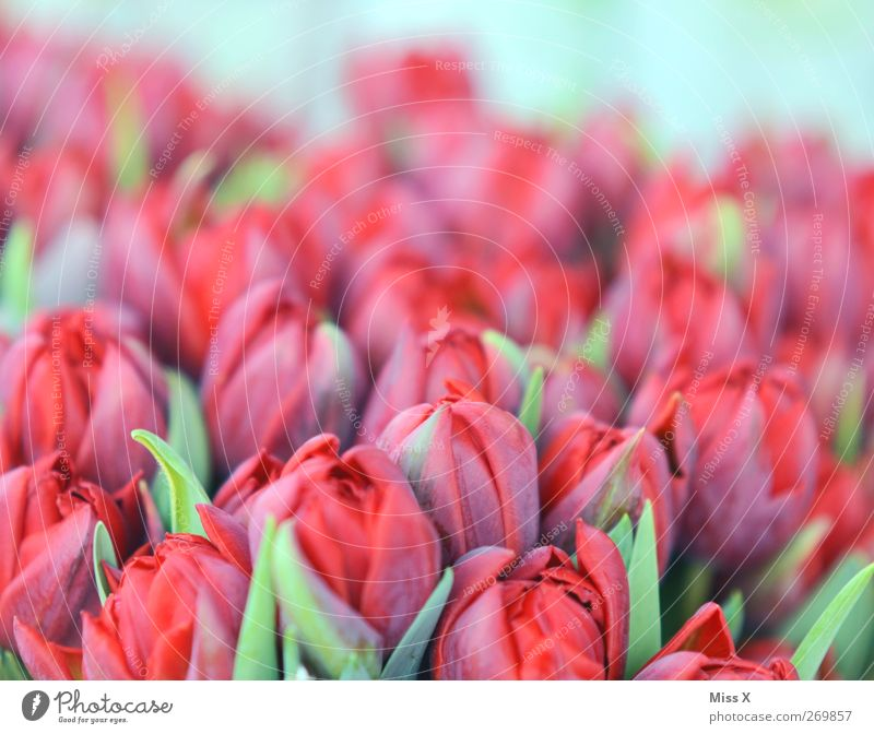 soft red Plant Spring Flower Tulip Blossom Blossoming Fragrance Red Tulip field Bouquet Pastel tone Colour photo Close-up Pattern Deserted Copy Space top