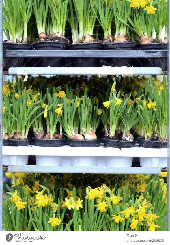 cage posture Spring Plant Flower Leaf Blossom Blossoming Fragrance Florist Flowerpot Wild daffodil Narcissus Farmer's market Sell Flower shop Colour photo