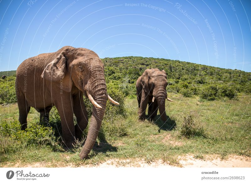 # 844 Elephant Colossus Herd South Africa National Park Protection Peaceful Nature Trunk Mammal Threat extinction Ivory big game Big 5 Bushes Watering Hole Dust