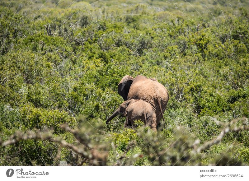 # 846 Elephant Colossus Herd South Africa National Park Protection Peaceful Nature Trunk Mammal Threat extinction Ivory big game Big 5 Bushes Watering Hole Dust
