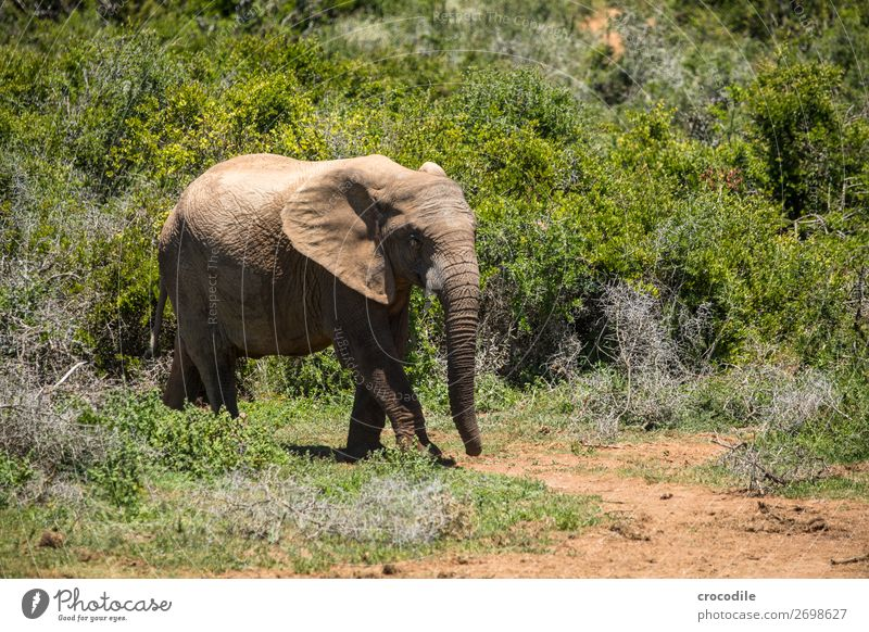 Elephant in the addo elephant national park Trunk Portrait photograph National Park South Africa Tusk Ivory Calm Majestic valuable Safari Nature Exterior shot