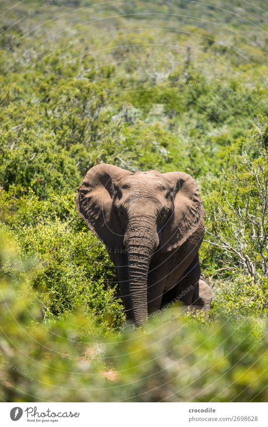 # 837 Elephant Colossus Herd South Africa National Park Protection Peaceful Nature Trunk Mammal Threat extinction Ivory Large Big 5 Bushes