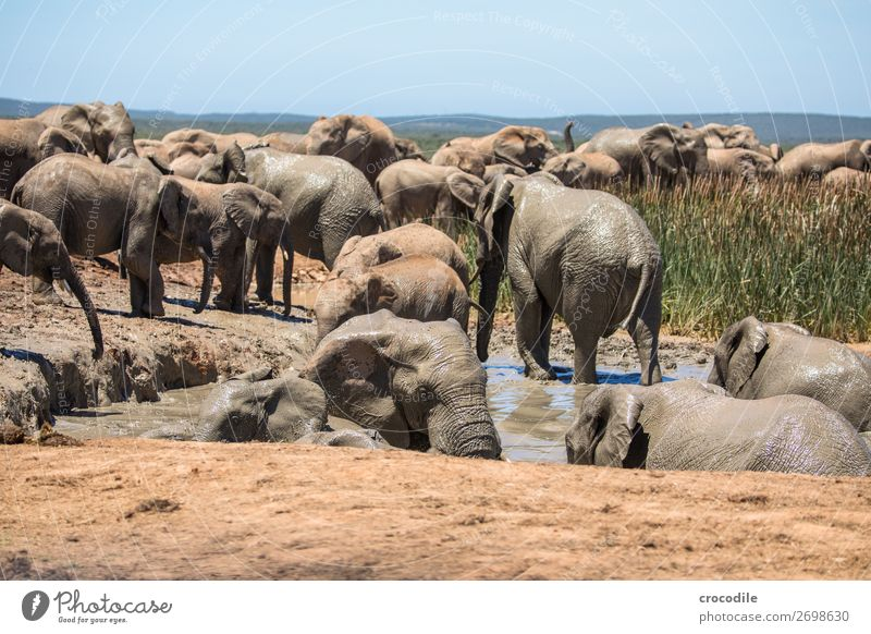 # 838 Elephant Colossus Herd South Africa National Park Protection Peaceful Nature Trunk Mammal Threat extinction Ivory Large Big 5 Bushes Watering Hole