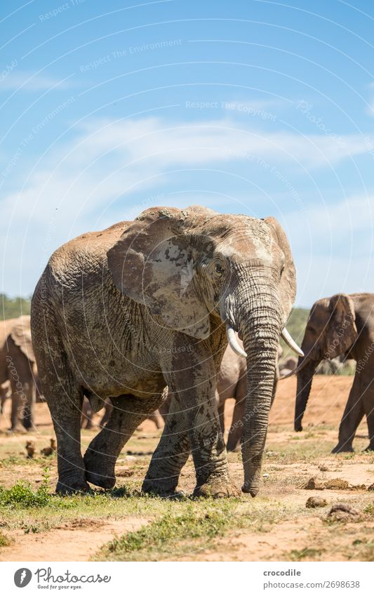 Elephant in the addo elephant national park Trunk Portrait photograph Herd National Park South Africa Tusk Ivory Calm Majestic valuable Safari Nature
