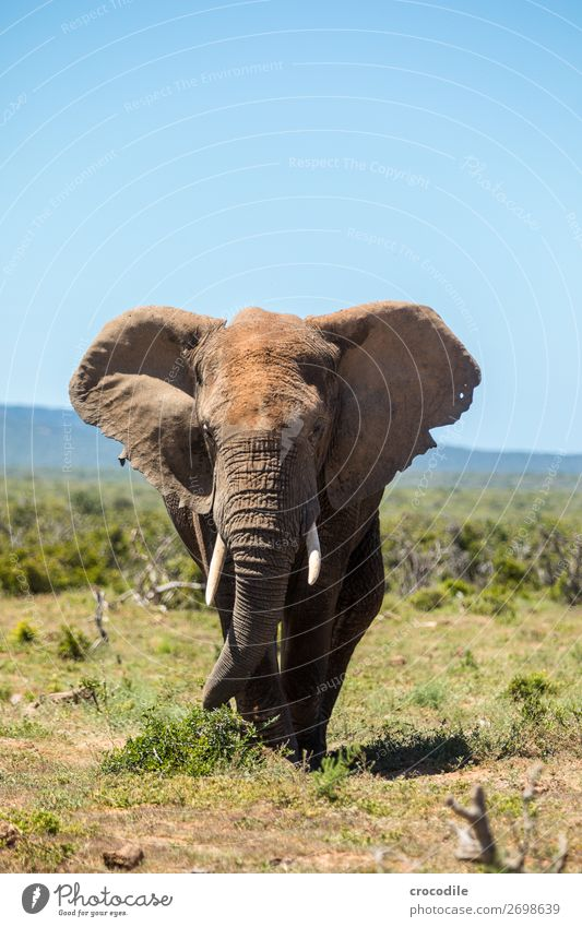 Elephant in the addo elephant national park Trunk Portrait photograph National Park South Africa Tusk Ivory Mud Calm Majestic valuable Safari Nature