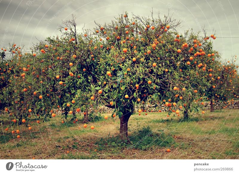 sinaasappel Orange Tree Agricultural crop Serene Orange plantation Majorca Many Paradisical Fragrance Colour photo Exterior shot Copy Space bottom