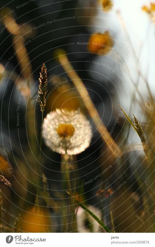 Nature Plant Summer Flower Calm Environment Meadow Grass Spring Blossom Contentment Natural Idyll Serene Dandelion Caution