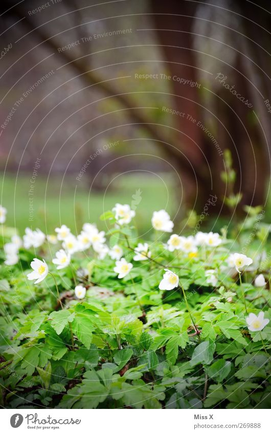 wood anemone Plant Spring Flower Leaf Blossom Wild plant Park Meadow Blossoming Fragrance White Wood anemone Colour photo Exterior shot Deserted