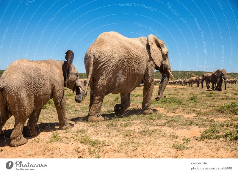 # 840 Elephant Colossus Herd South Africa National Park Protection Peaceful Nature Trunk Mammal Threat extinction Ivory Large Big 5 Bushes Watering Hole