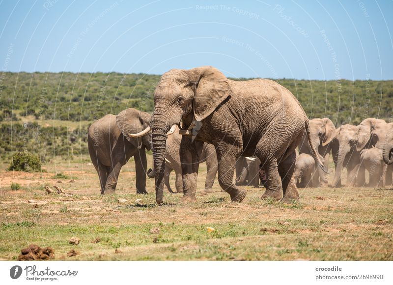 # 841 Elephant Colossus Herd South Africa National Park Protection Peaceful Nature Trunk Mammal Threat extinction Ivory Large Big 5 Bushes Watering Hole