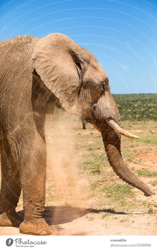 # 842 Elephant Colossus Herd South Africa National Park Protection Peaceful Nature Trunk Mammal Threat extinction Ivory big game Big 5 Bushes Watering Hole