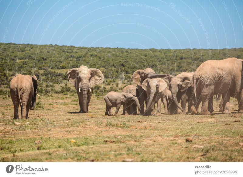 # 843 Elephant Colossus Herd South Africa National Park Protection Peaceful Nature Trunk Mammal Threat extinction Ivory big game Big 5 Bushes Watering Hole Dust