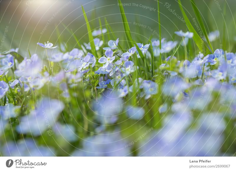 Field of fresh morning flowers in spring time Fragrance Birthday Nature Landscape Plant Spring Flower Grass Park Meadow Growth Fresh Small Blue Green Card