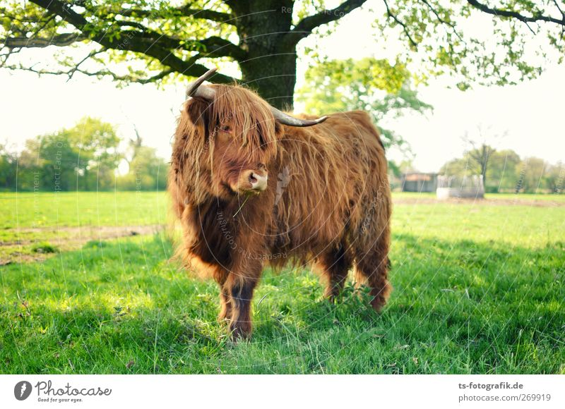 Where are we going to Scotland, please? Environment Nature Sun Spring Summer Tree Grass Foliage plant Agricultural crop Meadow Field Animal Farm animal Cow