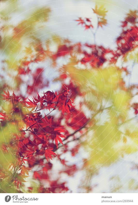 Nature Tree Red Leaf Yellow Autumn Spring Growth Maple leaf Twigs and branches Maple branch
