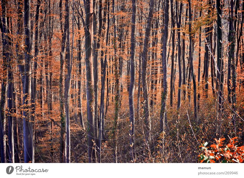 Nature Tree Forest Landscape Autumn Orange Autumnal Autumnal colours Deciduous forest