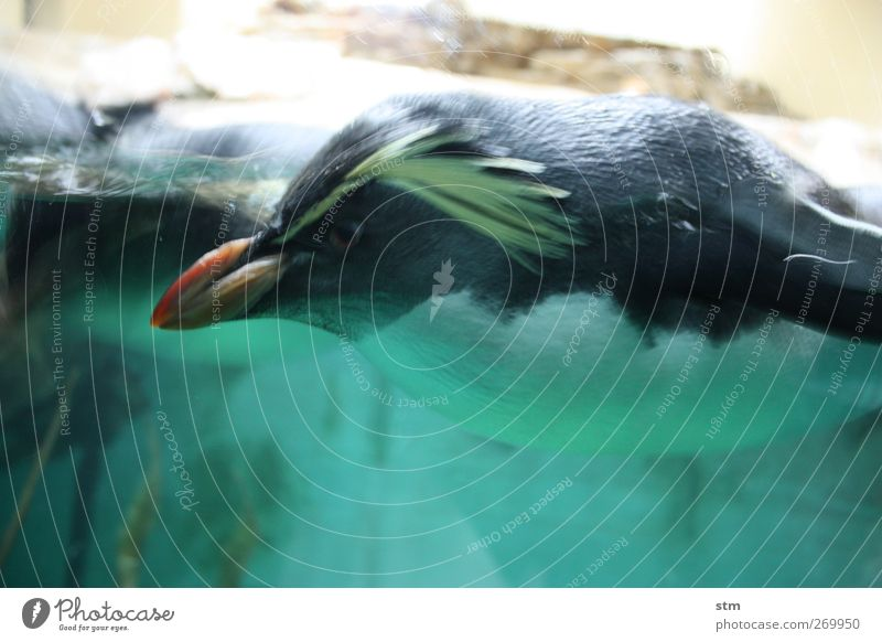 Firm in sight Animal Water Wild animal Animal face Wing Pelt Zoo Aquarium Penguin 1 Cool (slang) Single-minded Colour photo Multicoloured Interior shot Close-up