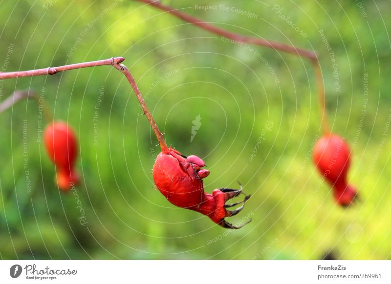 half fruit half creature Environment Nature Plant Autumn Bushes Wild plant Garden Hang Illuminate Faded To dry up Aggression Old Esthetic Exceptional Threat