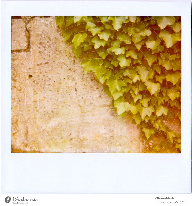 50\50 Plant Ivy Wall (barrier) Wall (building) Gray Green Converse Nature rankel plant Tendril Leaf Facade Colour photo Exterior shot Detail Polaroid Deserted