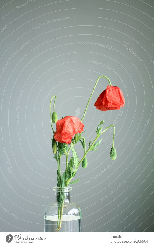 Green Red Plant Flower Leaf Gray Blossom Gloomy Poppy Vase Faded Poppy blossom Poppy capsule Poppy leaf