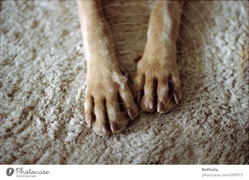 Dog Animal Relaxation Gray Legs Brown Gold Lie Pelt To enjoy Pet Paw Carpet Claw Restful