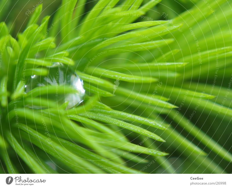 Nature Water Green Rain Line Drops of water Rope Point Fir tree Hide Safety (feeling of) Thorny Fir needle Sharp