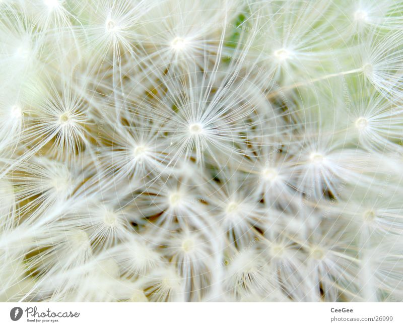 peachy Dandelion Fine White Blossom Flower Plant Spring Soft Delicate Thin Narrow Easy Limbs umbrella Nature Macro (Extreme close-up) Close-up Bright