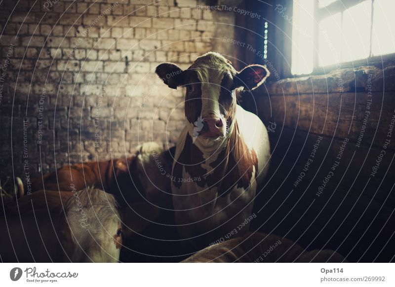 White Animal Black Brown Large Group of animals Observe Soft Curiosity Cow Herd Farm animal
