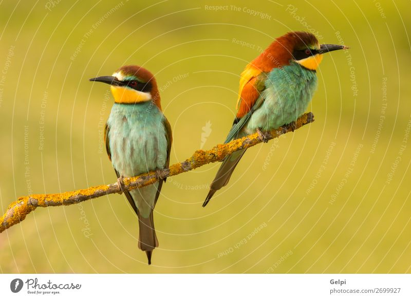 Pair of bee-eaters Eating Beautiful Couple Environment Nature Animal Bird Bee Love Wild Blue Green Black White Colour wildlife colorful Thailand Tropical branch