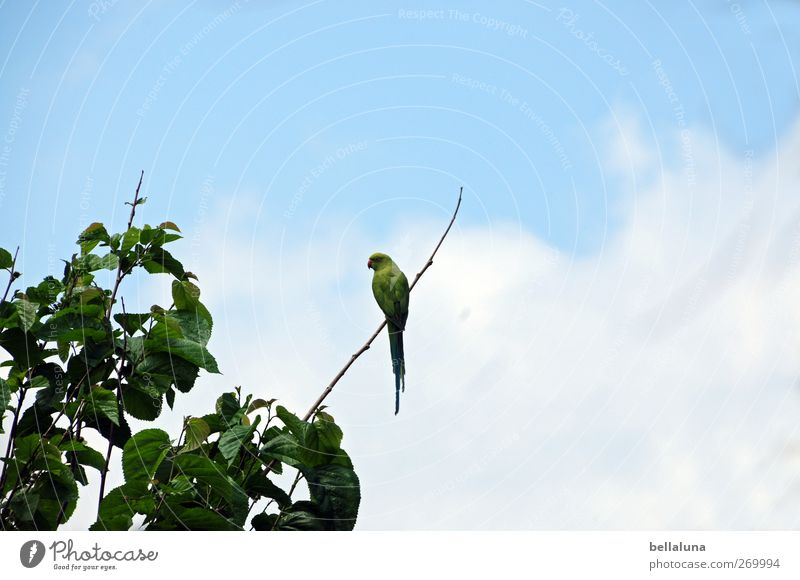 Sky Nature Blue Green Tree Plant Leaf Animal Clouds Bird Wild animal Sit Exotic Wild plant Tenerife Parrots