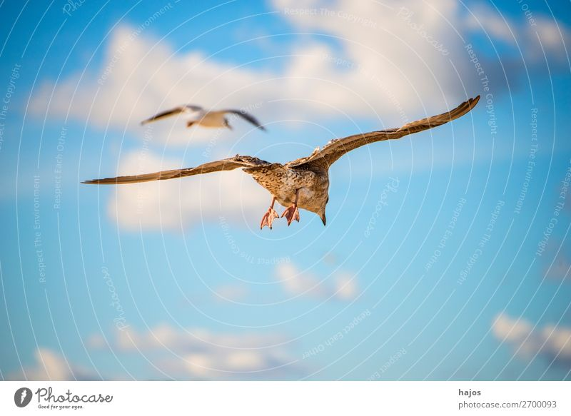 young silver gull flying over the Baltic Sea in Poland Child Animal Bird 2 Blue Brown Gray Larus fuscus L. seagull Silvery gull youthful Sky fauna Seagull two