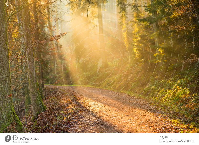 Sunbeams in the forest Relaxation Winter Nature Warmth Forest Bright Soft Idyll Lighting Light (Natural Phenomenon) Stage lighting Illuminate Mystic Fantastic