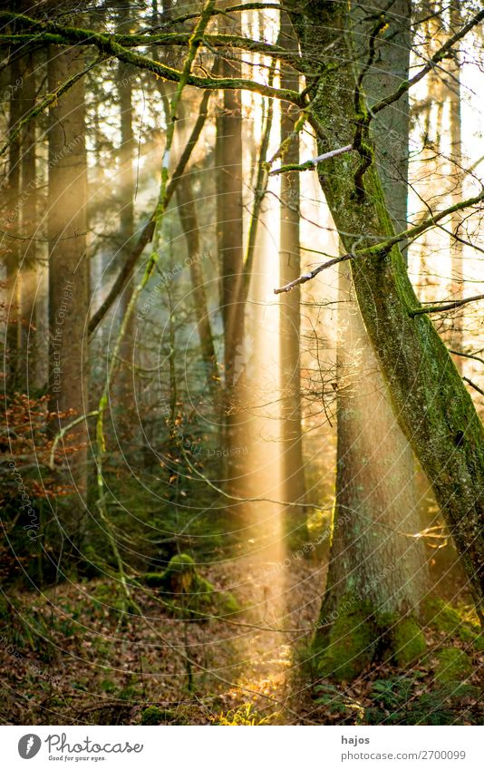 Sunbeams in the forest Relaxation Winter Nature Warmth Forest Soft Idyll Lighting Light (Natural Phenomenon) Flare Visual spectacle Sunlight spot Bright tree