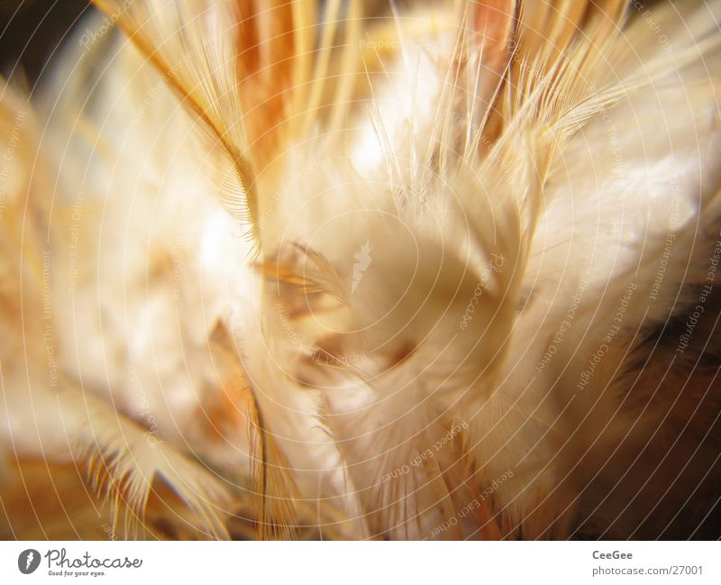light as a feather 2 Soft Physics Cuddly Fuzz Fine Easy Brown White Ochre Feather Warmth Bright Colour Structures and shapes Nature Close-up