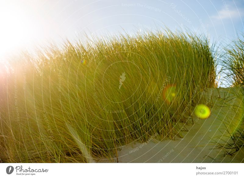 Beach oats in the opposite direction Summer Plant Sand Blue Green marram grass Baltic Sea Poland Back-light Sun reflection Sky flora Colour photo Close-up Day