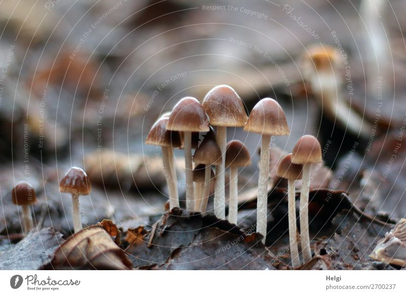 many small mushrooms grow between old leaves Environment Nature Plant Winter flaked Park Stand Growth Exceptional Uniqueness Small Wet natural Brown Gray White