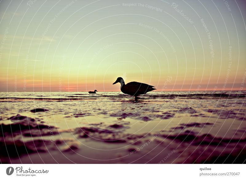 All my ducklings Ocean Water Sky Sunrise Sunset Summer Coast North Sea Duck 2 Animal Swimming & Bathing Looking Together Infinity Wet Curiosity Brown Gold