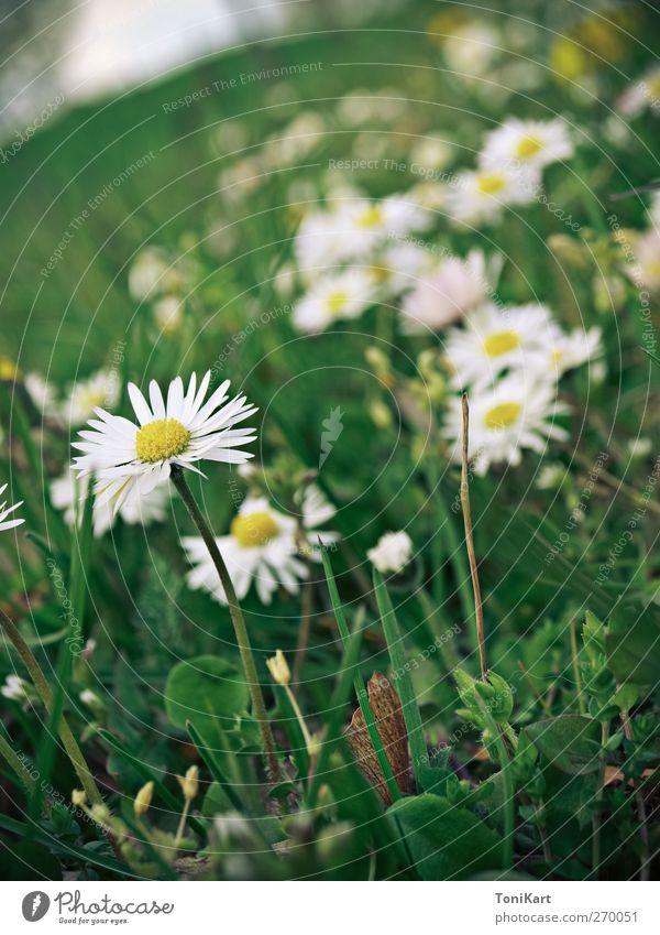 flower meadow Nature Plant Spring Flower Grass Blossom Wild plant Meadow Yellow Green White Colour photo Exterior shot Close-up Deserted Day Light
