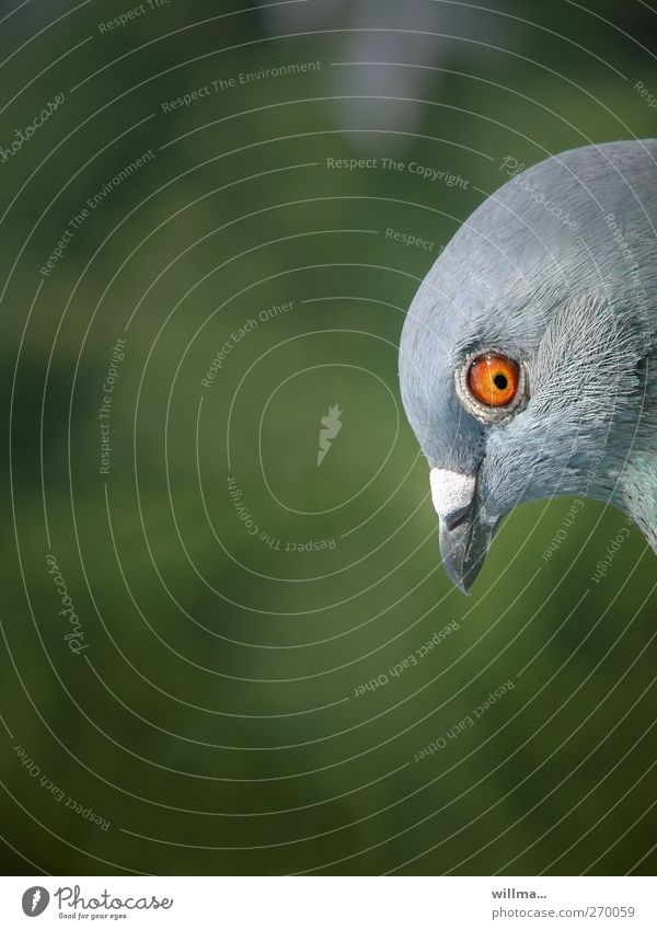 Richard Bird Pigeon Head Beak Eyes 1 Animal Observe Astute Funny Curiosity Mistrust Colour photo Exterior shot Deserted Copy Space left Copy Space top