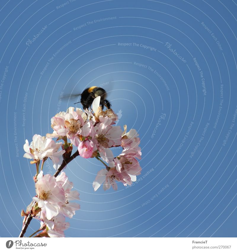 Bumblebee in the square Nature Plant Air Cloudless sky Sun Spring Beautiful weather Tree Blossom Animal Wing 1 Running Movement Blossoming Fragrance Flying
