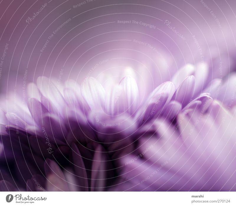 Nature Plant Summer Flower Spring Blossom Soft Violet Delicate Blossom leave